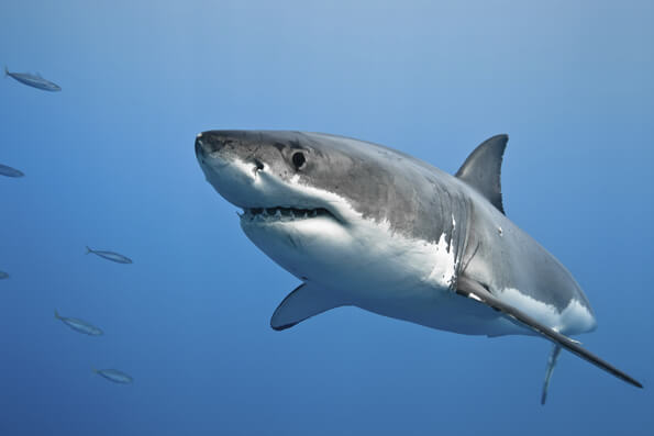 shark intelligence and behaviour one example of instinctive behavior in the great white shark is that its eye will roll back when its snout touches an object this serves the purpose of