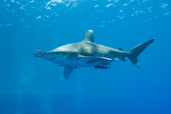 where sharks live in order to catch these fish sharks that live in the open ocean are incredibly fast thresher blue silky shortfin mako and oceanic whitetip sharks are