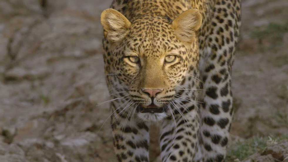 dstv.documentarios,Nat,Geo,Wild,_AfricasHunters.jpg